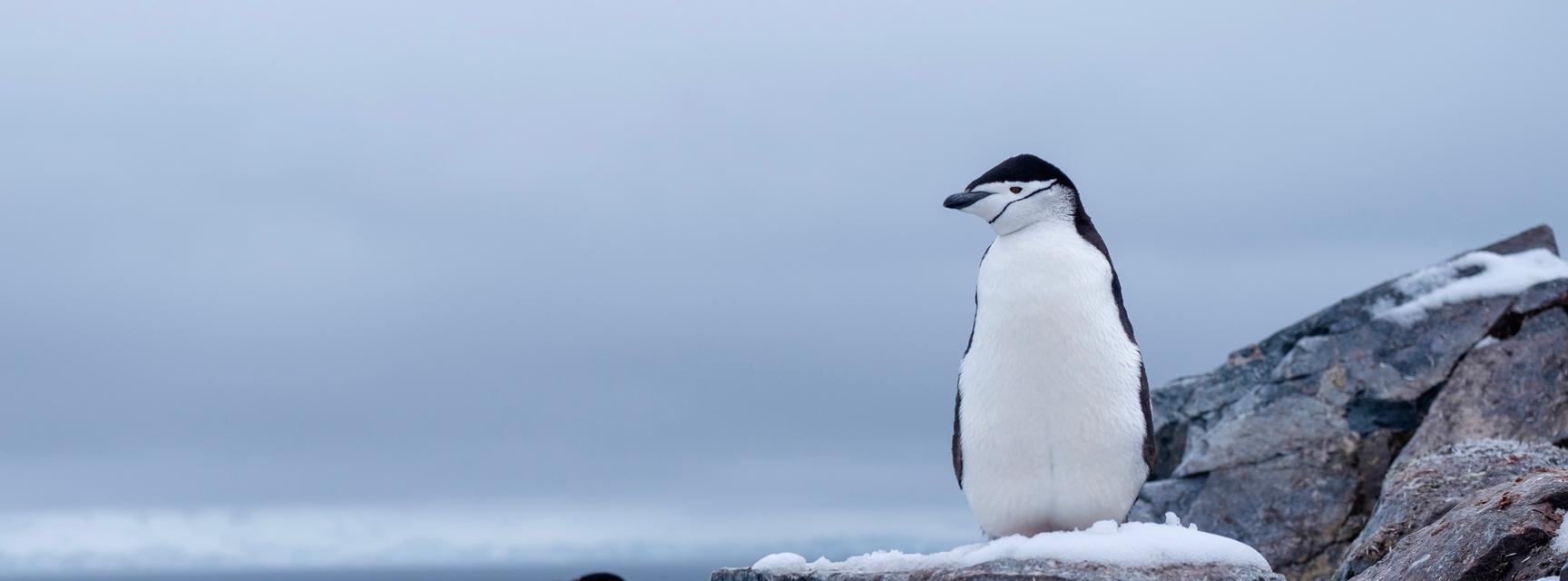 Penguins standing on grey rocks in Antarctica