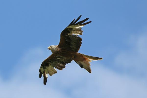 Red kite (Milvus milvus), Bernwood Meadows, Buckinghamshire
