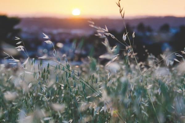 Sunrise over grass seed heads