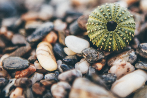 Sea Urchin on pebbles